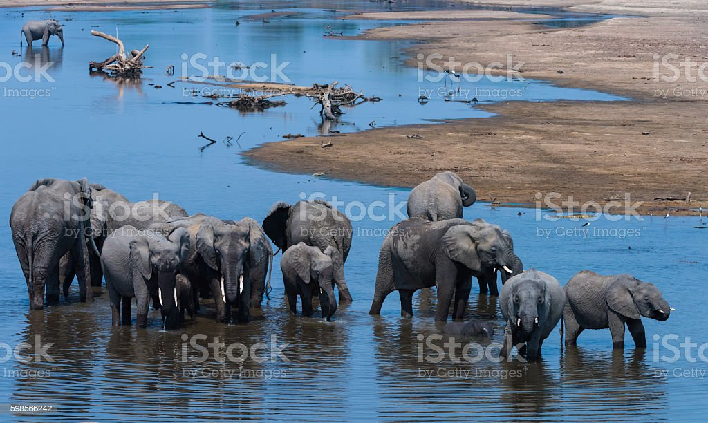 Elephants bathing and drinking in river royalty-free stock photo