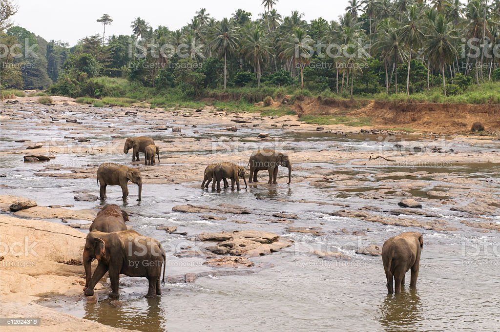 Elephants bathing in the river stock photo