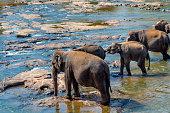 Elephants bathing in the river