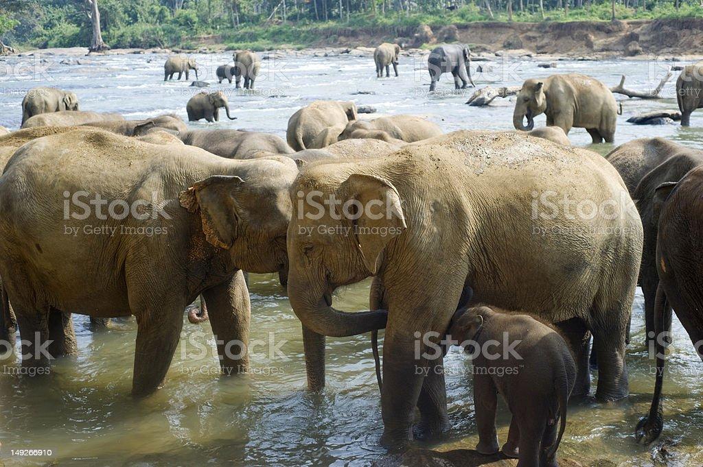 Elephants bathing stock photo