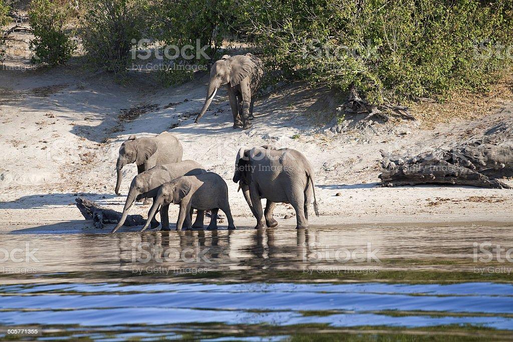 Elephants, Chobe River, Botswana royalty-free stock photo