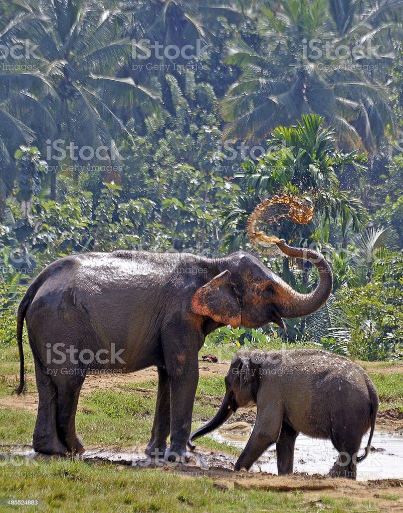 Elephants cooling themselves, Sri Lanka stock photo