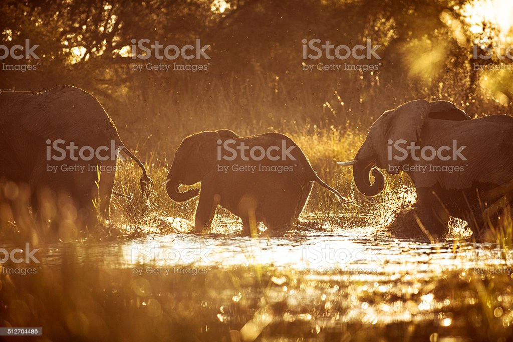 Elephants crossing a river at sunset. stock photo
