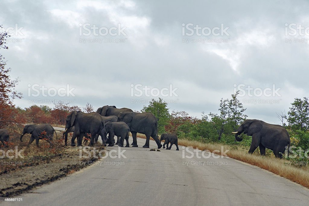 Elephants crossing road in Kruger national park stock photo