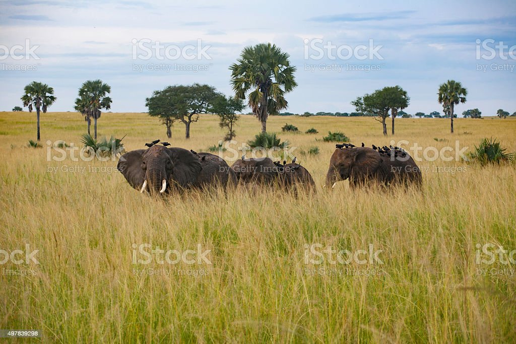Elephants crossing savannah stock photo