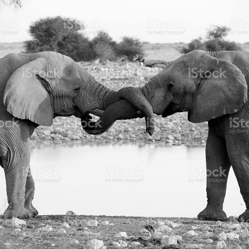 Elephants curling trunk stock photo