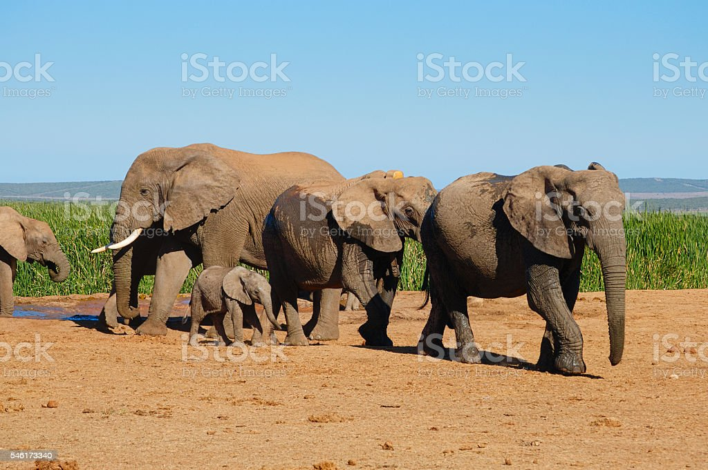 Elephants drinking and walking away from water hole stock photo