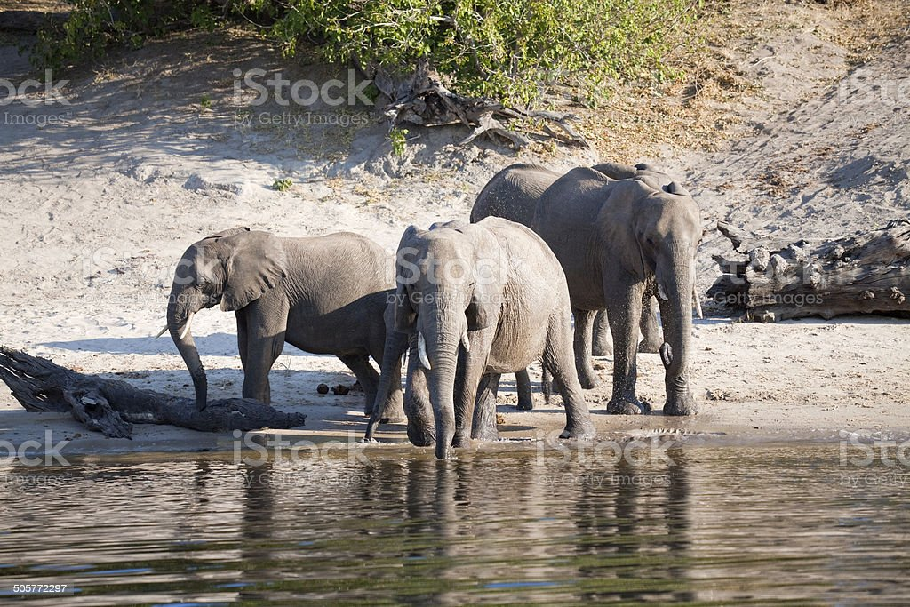 Elephants drinking royalty-free stock photo