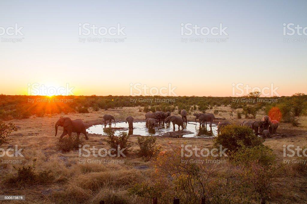 Elephants Drinking Water At Sunset stock photo