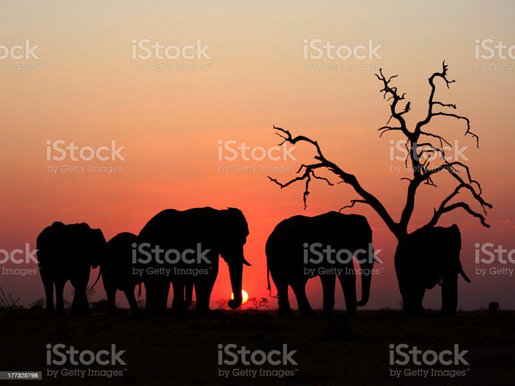 Elephants during Sunset stock photo