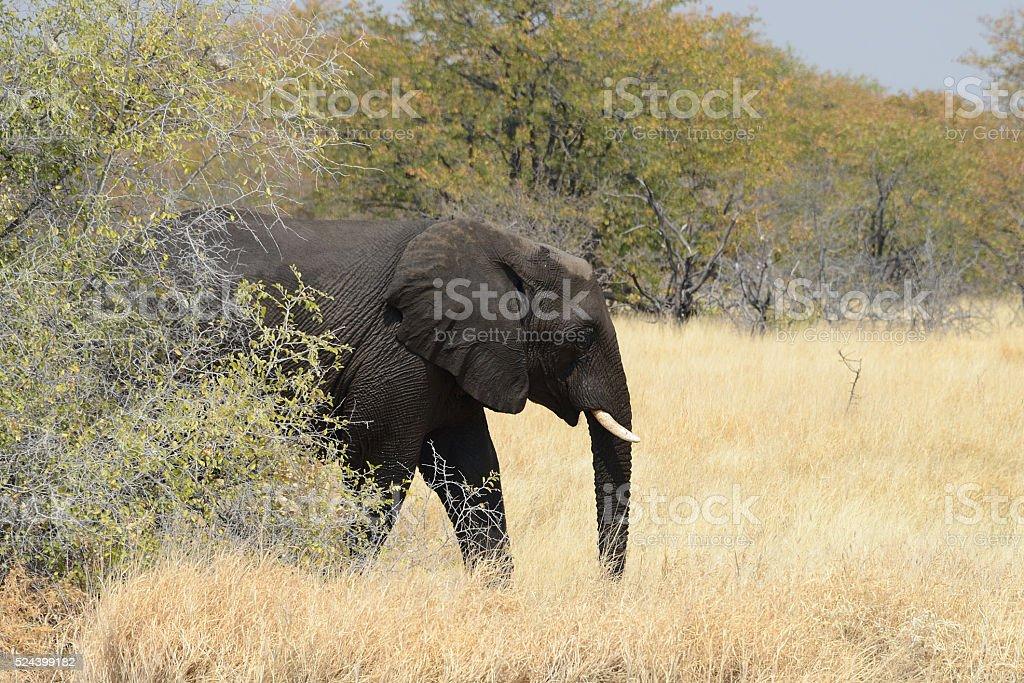 Elephants, Etosha National Park, Namibia stock photo
