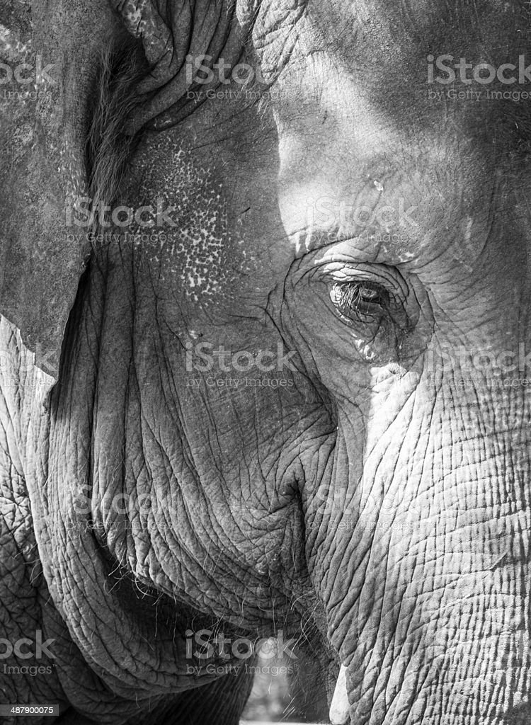 Elephant's eye stock photo