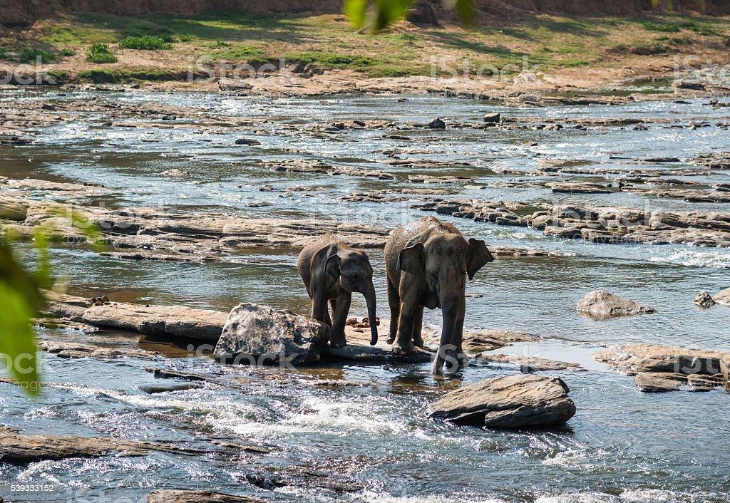 Elephants family crossing river stock photo
