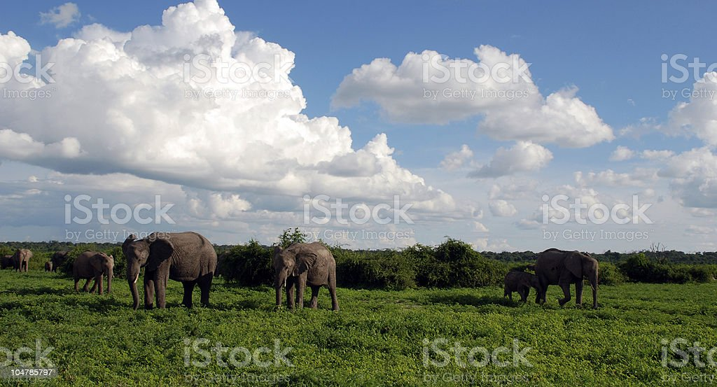 Elephant's family in african savannah royalty-free stock photo