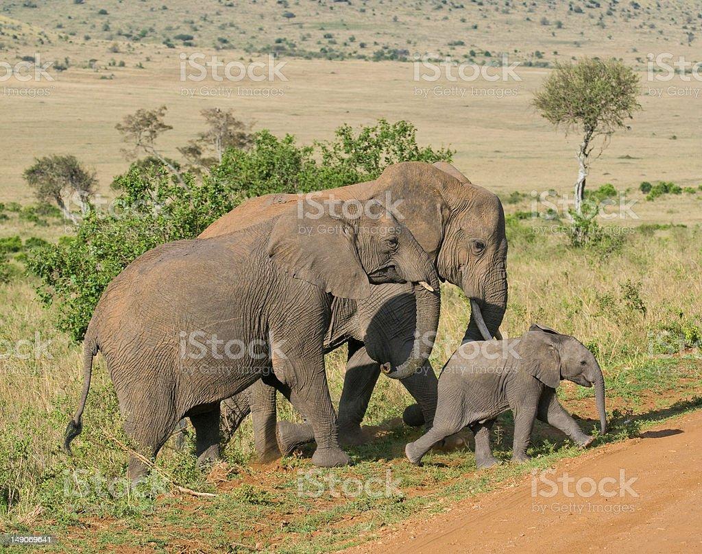 elephant's family royalty-free stock photo