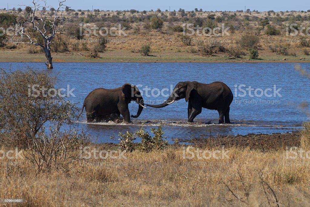 Elephants fight stock photo