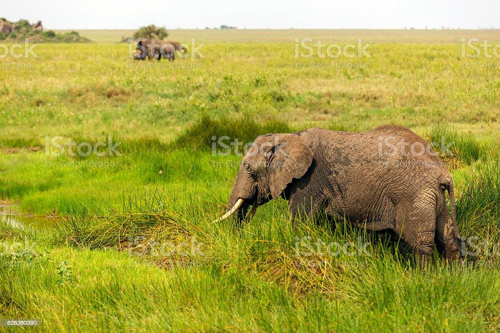 Elephants grazing at Endless Savannah stock photo