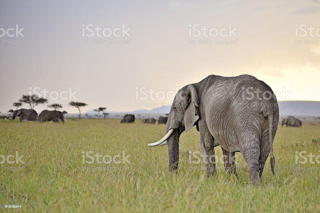 elephants grazing in twilight stock photo