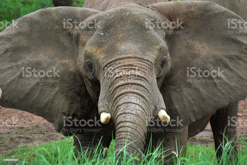 Elephant's head stock photo