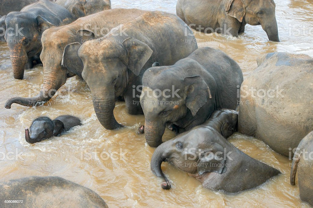 Elephants in a river stock photo