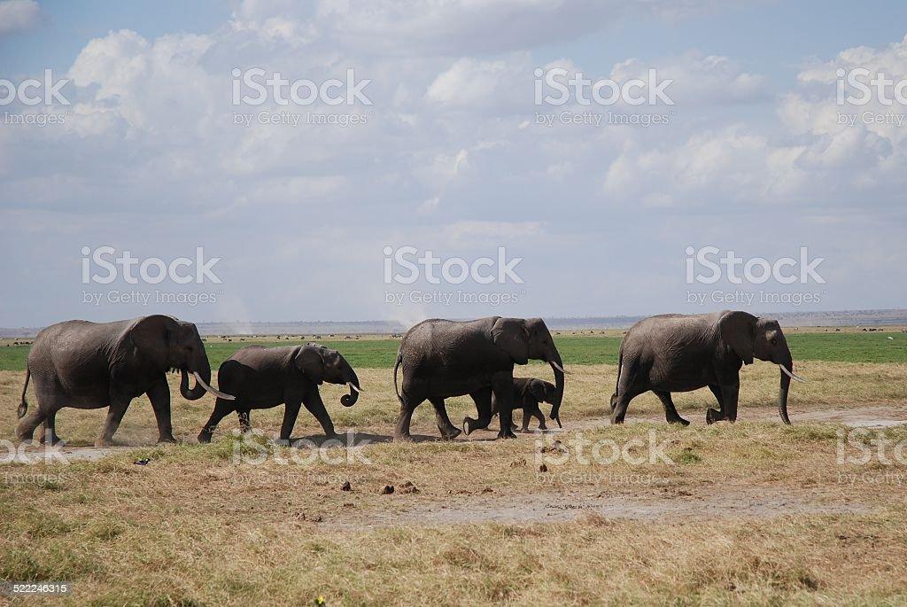 Elephants in a Row royalty-free stock photo
