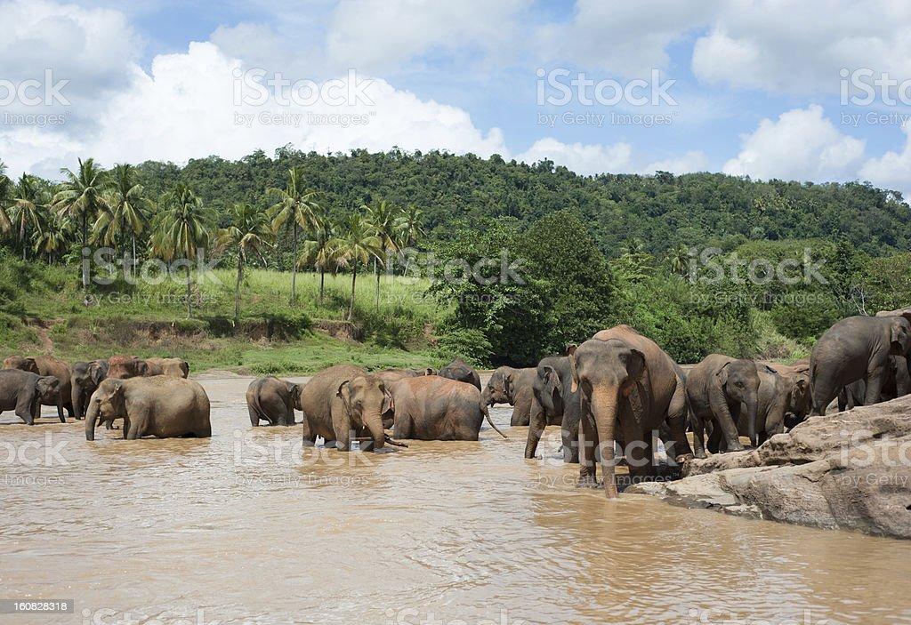 Elephants in a Sri Lankan river royalty-free stock photo