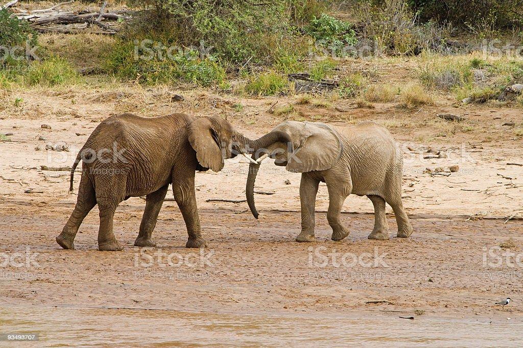 Elephants in Africa stock photo