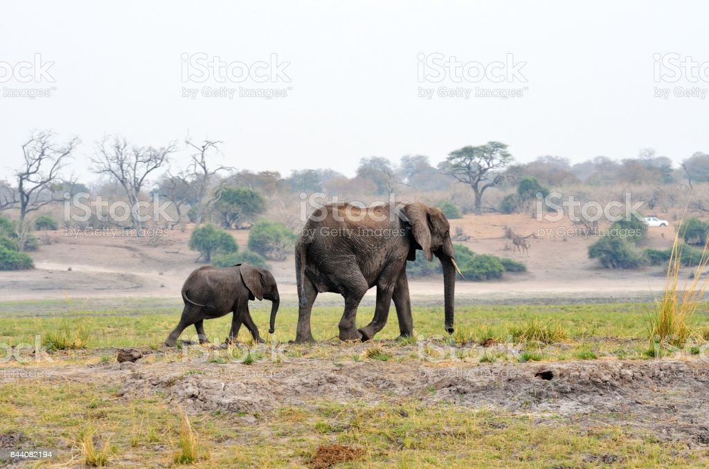 Elephants in Chobe National Park, Botswana stock photo