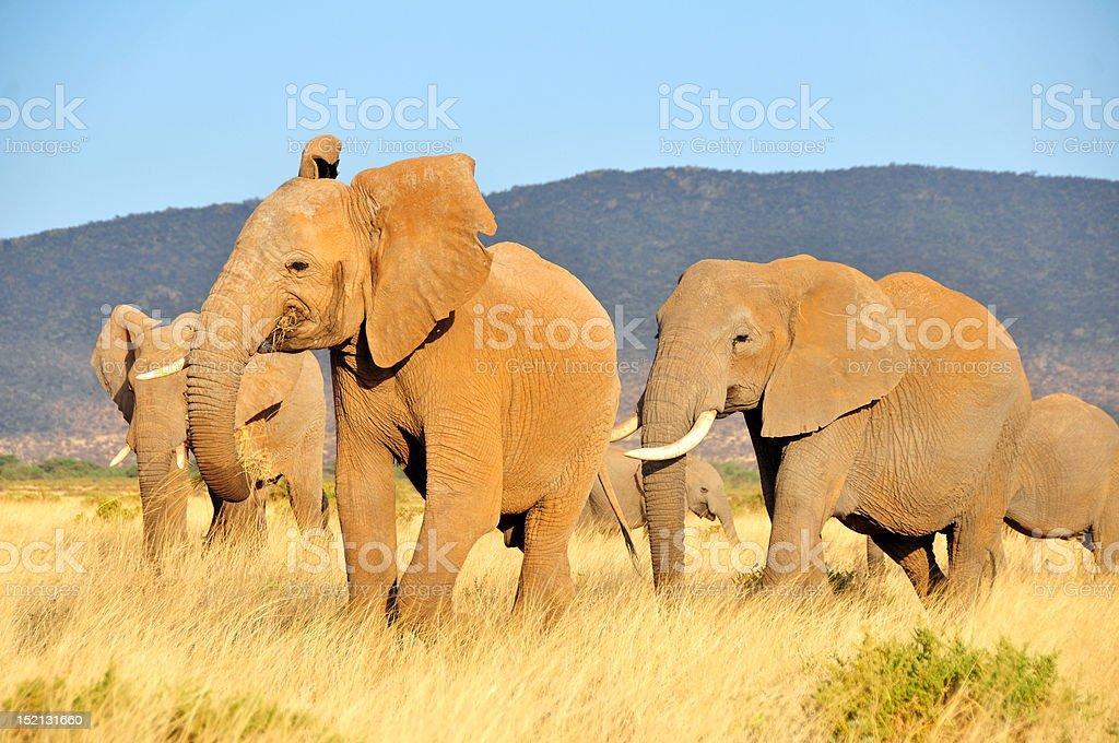 Elephants in Kenya stock photo