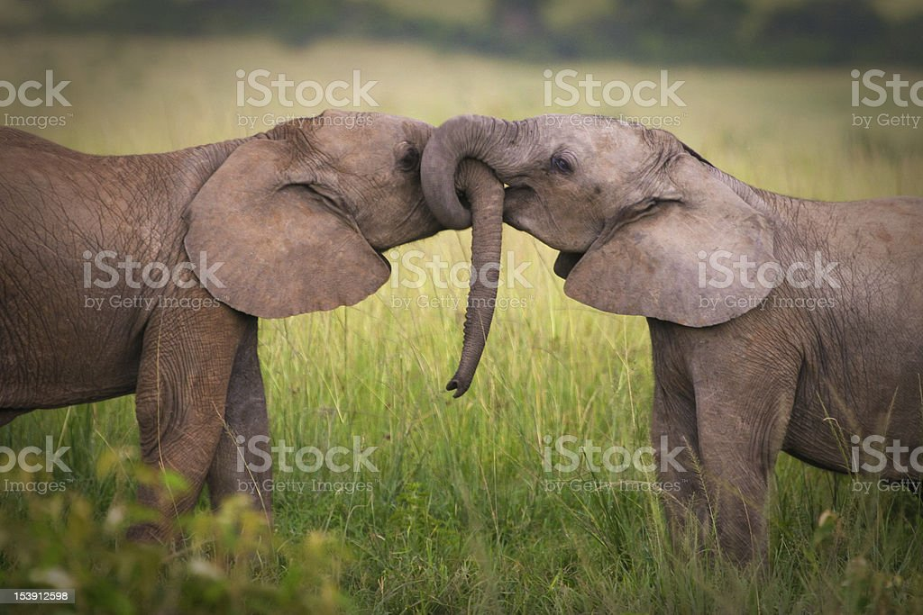 Elephants in love stock photo