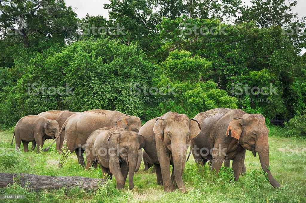 Elephants in Minneriya Wildlife Reserve, Sri Lanka stock photo