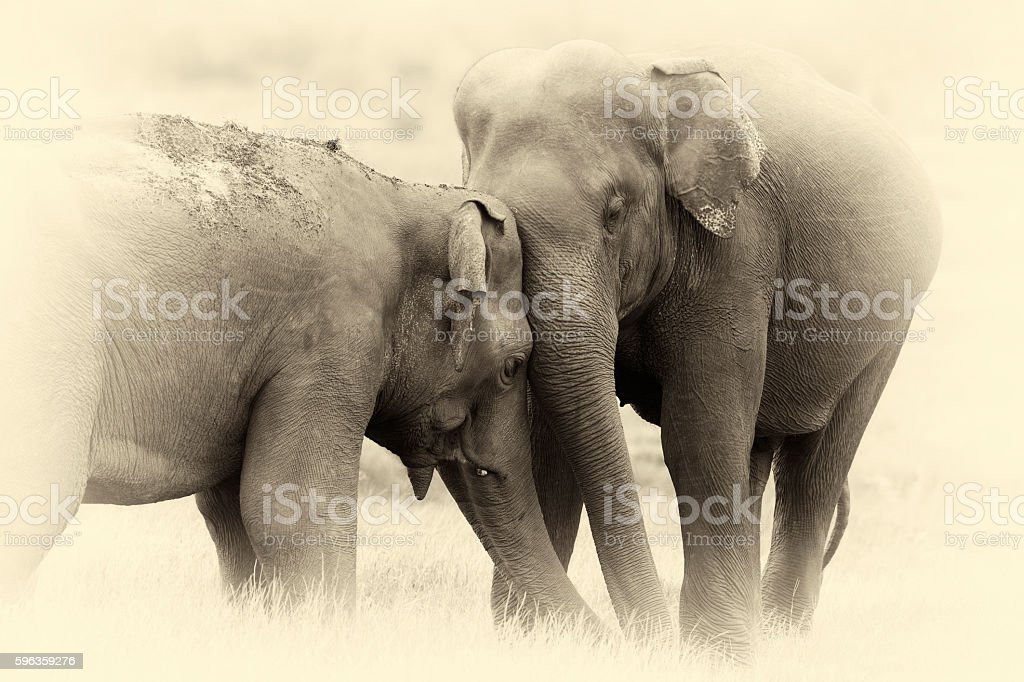 Elephants in National Park. Vintage effect stock photo