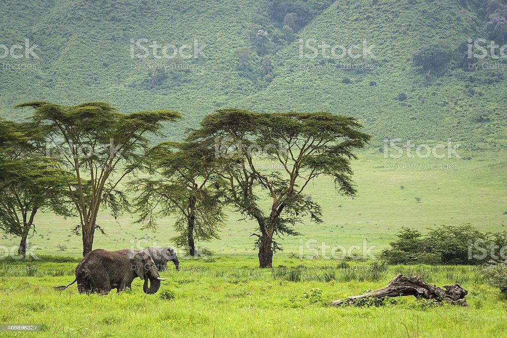Elephants in Ngorongoro Crater stock photo