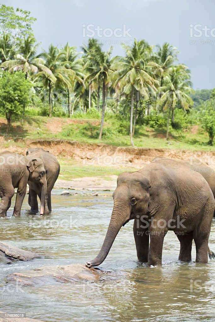 Elephants in river royalty-free stock photo