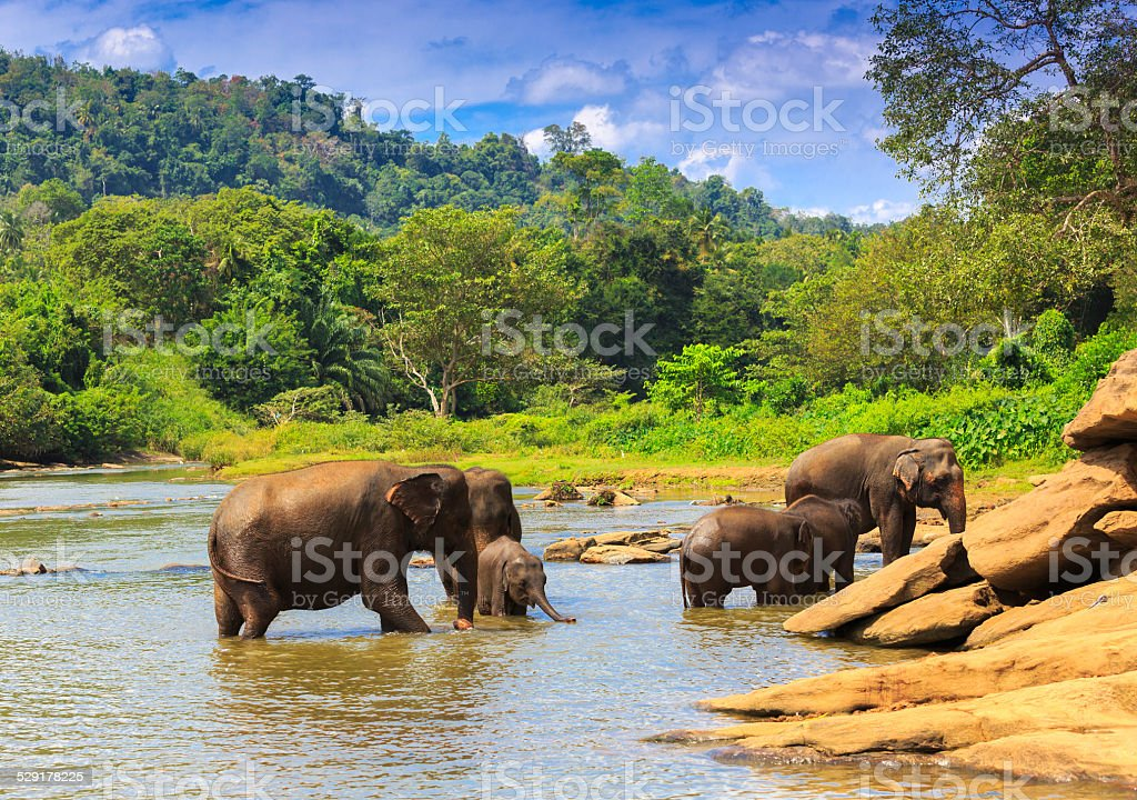 Elephants in river stock photo