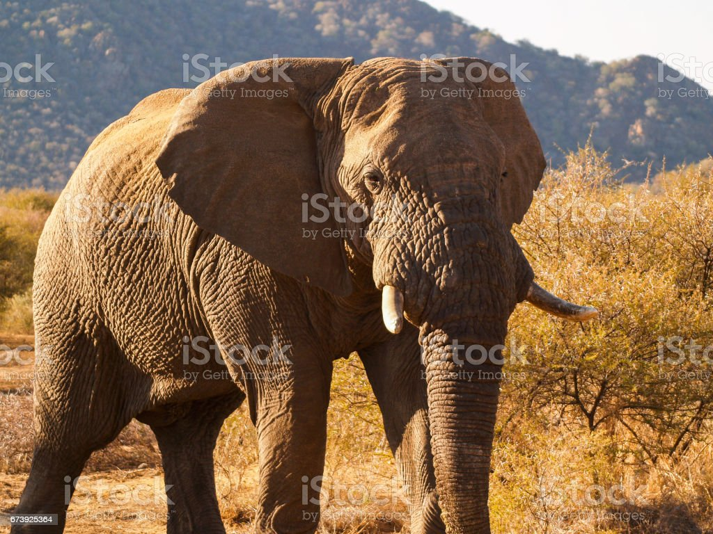 Elephants in South Africa stock photo