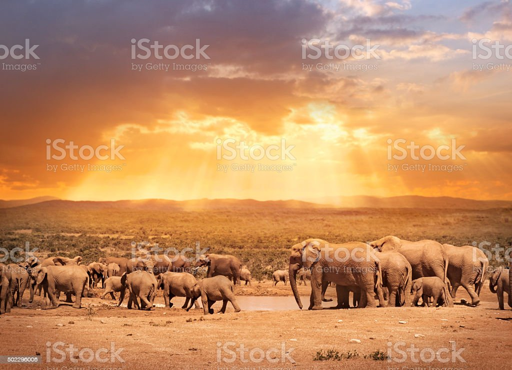 Elephants in South African park Addo stock photo