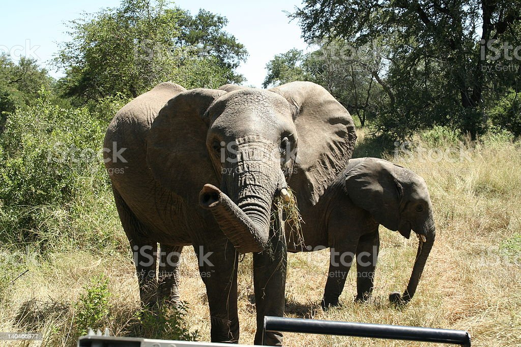 Elephants in Swaziland stock photo