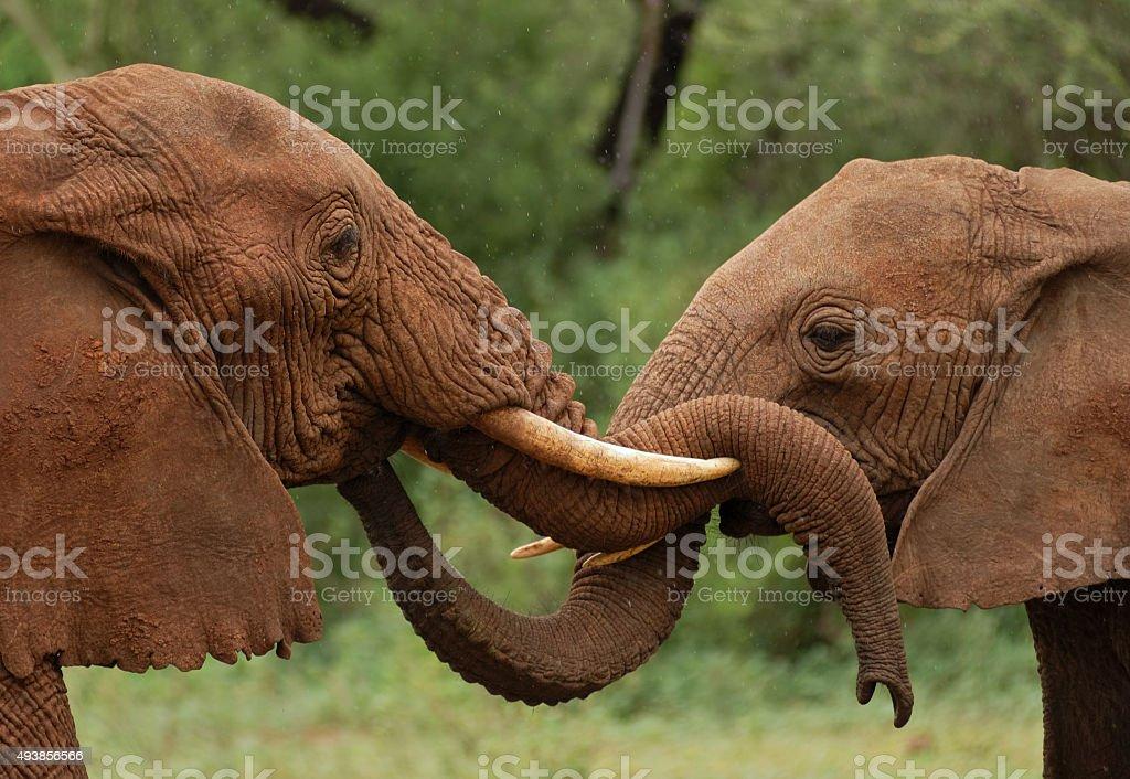 elephants in Tanzania stock photo