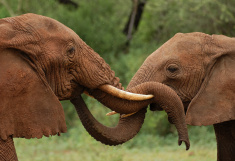 elephants in Tanzania stock photo