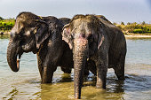 Elephants in the Chitwan Natational Park