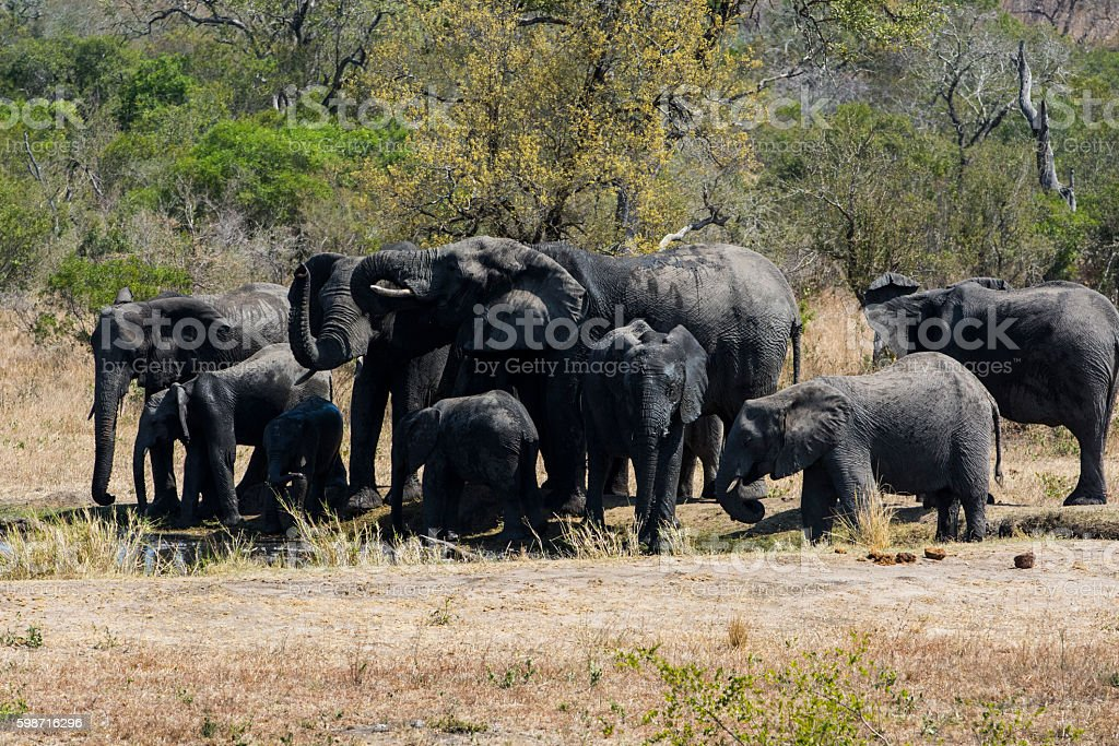 Elephants in the water hole stock photo