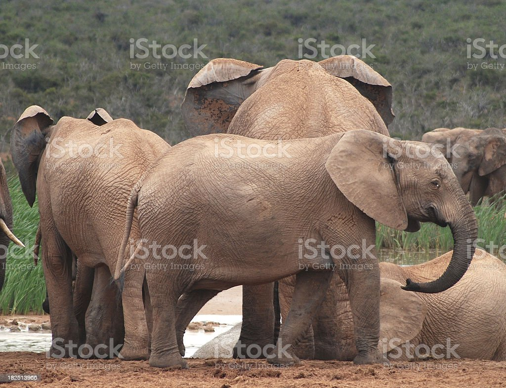 Elephants in the wilderness royalty-free stock photo