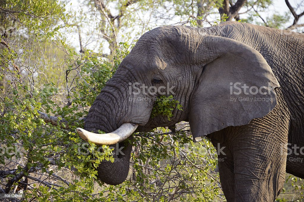 Elephants, Kruger National Park, South Africa stock photo