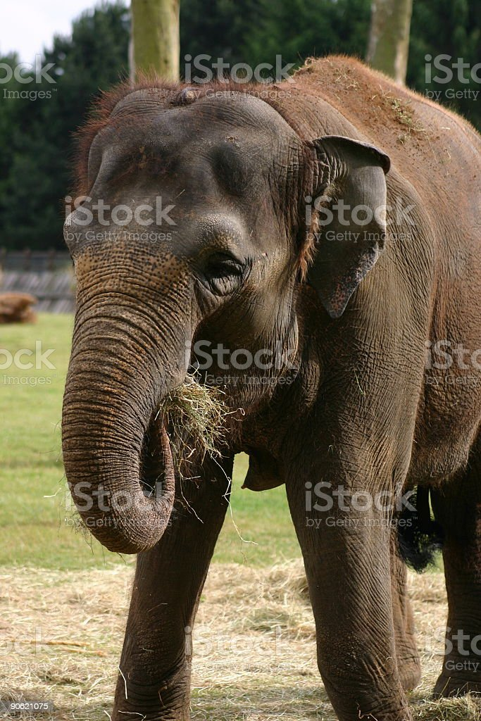 Elephant's lunch royalty-free stock photo