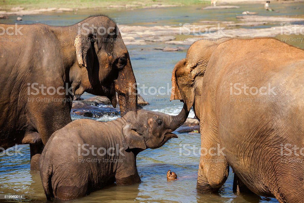 Elephants of Pinnawala elephant orphanage bathing in river stock photo