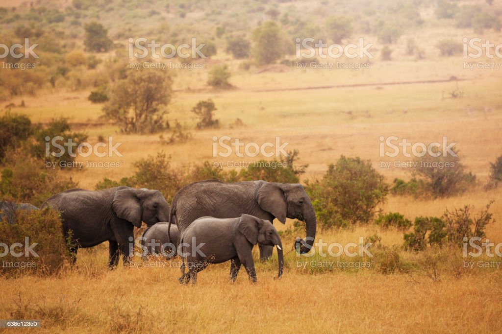 Elephants on their way back from feeding in swamps stock photo