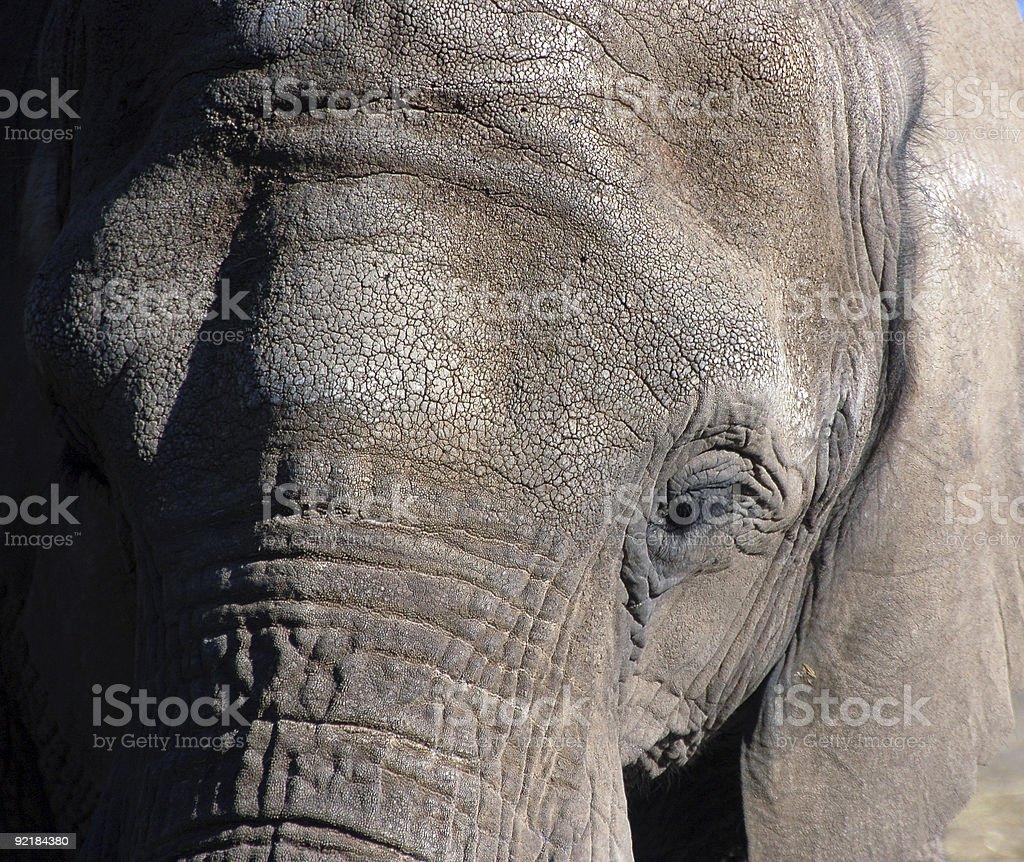 Elephants (Elephantidae) royalty-free stock photo
