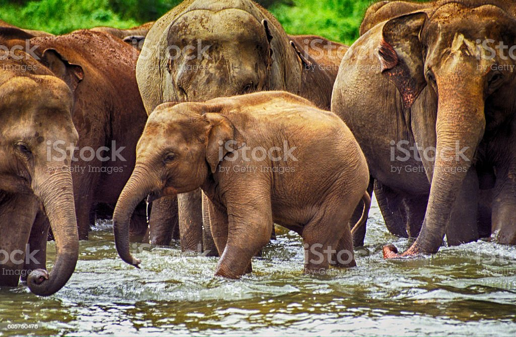 Elephants, Pinnewala, Sri Lanka stock photo