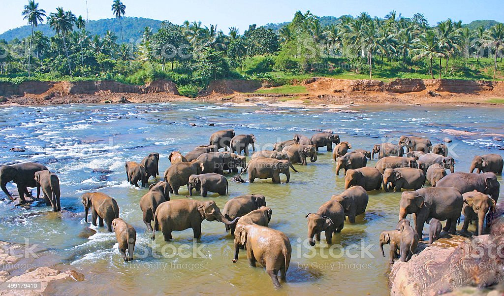 Elephants play stock photo